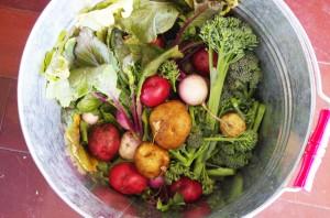 子供たちが収穫した野菜